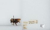 view Bombus (Fervidobombus) atratus Franklin, 1913 digital asset number 1
