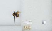 view Bombus (Alpinobombus) balteatus Dahlbom digital asset number 1