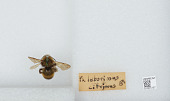 view Bombus (Psithyrus) citrinus (Smith, 1873) digital asset number 1