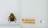 view Bombus (Psithyrus) citrinus (Smith, 1873) digital asset number 1