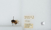 view Bombus (Pyrobombus) ephippiatus (Say) digital asset number 1