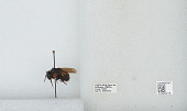 view Bombus (Pyrobombus) ephippiatus (Say) digital asset number 1