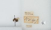 view Bombus deuteronymus Schulz, 1906 digital asset number 1