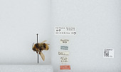view Bombus (Psithyrus) fernaldae (Franklin) digital asset number 1
