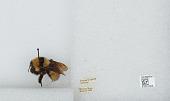view Bombus (Fervidobombus) fervidus fervidus (Fabricius) digital asset number 1