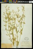 view Croton texensis (Klotzsch) Müll. Arg. digital asset number 1