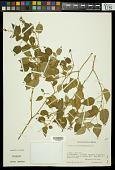 view Croton ciliatoglandulosus Steud. digital asset number 1