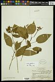view Croton glabellus L. digital asset number 1