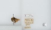 view Bombus (Pyrobombus) flavifrons Cresson, 1863 digital asset number 1