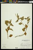 view Croton lundianus (Didr.) Müll. Arg. digital asset number 1