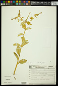 view Croton tartonraira Müll. Arg. digital asset number 1