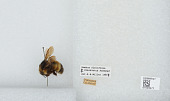 view Bombus (Pyrobombus) flavifrons Cresson, 1863 digital asset number 1