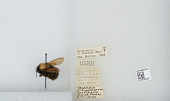 view Bombus (Funebribombus) funebris funebris Smith digital asset number 1