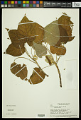 view Croton lechleri Müll. Arg. digital asset number 1