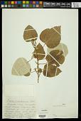 view Croton pseudochina Schltdl. & Cham. digital asset number 1