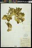 view Croton menthodorus Benth. digital asset number 1