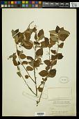 view Croton reflexifolius Kunth digital asset number 1