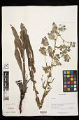 view Onosma paniculata Bureau & Franch. digital asset number 1