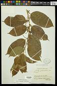 view Croton schiedeanus Schltdl. digital asset number 1