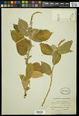 view Croton rhamnifolius Willd. digital asset number 1