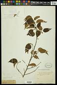 view Croton sylvaticus digital asset number 1