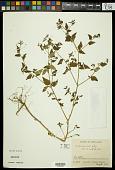 view Croton trinitatis Millsp. digital asset number 1