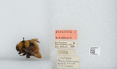 view Bombus (Robustobombus) hortulanus Friese digital asset number 1
