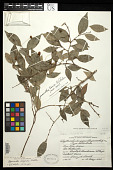 view Phyllanthus longipes Steyerm., nom. illeg. digital asset number 1