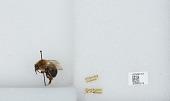 view Bombus (Pyrobombus) impatiens Cresson, 1863 digital asset number 1