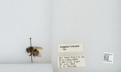 view Bombus (Pyrobombus) mixtus Cresson, 1878 digital asset number 1