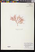 view Eucheuma isiforme (C. Agardh) J. Agardh digital asset number 1