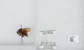 view Bombus (Megabombus) opifex Smith digital asset number 1