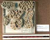 view Manicina areolata (Linnaeus, 1758) digital asset number 1