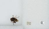 view Bombus (Bombus) terrestris (Linnaeus) digital asset number 1