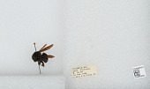 view Bombus (Megabombus) pullatus Franklin, 1913 digital asset number 1