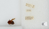view Bombus (Rubicundobombus) rubicundus Smith digital asset number 1