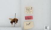 view Bombus (Pyrobombus) vagans vagans Smith digital asset number 1