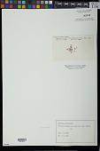 view Eucheuma acanthocladum (Harv.) J. Agardh digital asset number 1