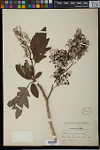 view Bocconia frutescens L. digital asset number 1