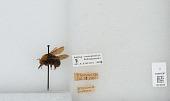 view Bombus (Pyrobombus) vosnesenskii Radoszkowski digital asset number 1