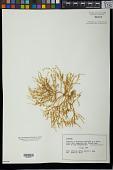 view Eucheuma sp. digital asset number 1