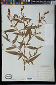 view Polygonum persicaria L. digital asset number 1