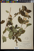 view Lonicera japonica Thunb. digital asset number 1