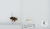 view Bombus unidentified digital asset number 1