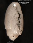 view Bulimina yonabaruensis Leroy, 1964 digital asset number 1