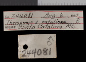 view Thomomys bottae catalinae digital asset number 1