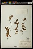 view Croton bojerianum Baill. digital asset number 1