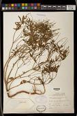 view Croton bonplandianus Baill. digital asset number 1