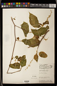 view Croton caudatus Geiseler digital asset number 1