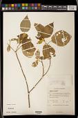 view Croton lacciferus Blanco digital asset number 1